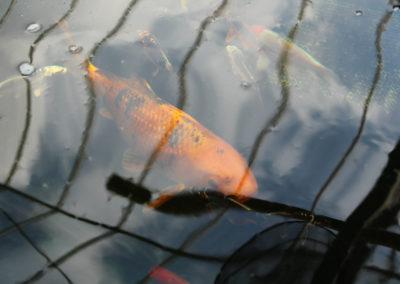 Vijvervissen2